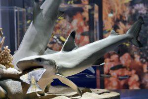 """Modell von zwei Schwarzspitzen- Riffhaien in der Ausstellung """"Korallenriffe – Bedrohte Schätze der Ozeane"""" im Senckenberg Naturmuseum Copyright: Senckenberg/Tränkner"""