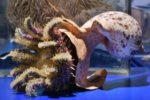 Modell eines Tritonshorns, das einen Dornkronenseestern verspeist – zu sehen in der neuen Sonderausstellung im Senckenberg Naturmuseum Frankfurt. Copyright: Senckenberg/Tränkner