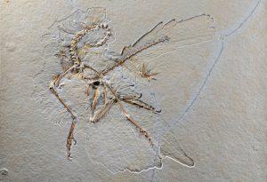 Das Originalexponat Archaeopteryx Nr.11 aus den Solnhofener Plattenkalken. Copyright: Senckenberg/Tränkner