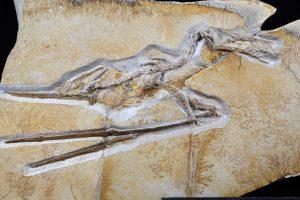 """Flugsaurier Rhamphorhynchus – zu sehen im neuen Ausstellungsbereich """"Gefiederte Dinosaurier"""". Copyright: Senckenberg/Tränkner"""