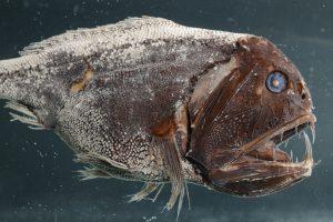 """Von Meeresforscher Pedro Martinez aus der Tiefsee gefischt: Fangzahn (Anoplogaster cornuta). Ab dem 19. Dezember ist das Präparat in dem neuen Ausstelungsraum """"Tiefsee"""" zu bestaunen. Foto: Senckenberg/Tränkner"""